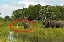 Bị cá sấu tấn công, đàn voi khiếp sợ kêu vang rừng