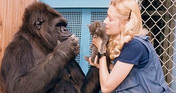 """Khỉ đột nổi tiếng biết giao tiếp với người qua đời, """"thọ"""" 46 tuổi"""