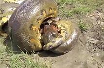 Clip: Những pha giao chiến ác liệt giữa cá sấu với trăn