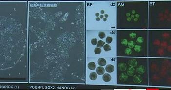 Lần đầu tiên dùng tế bào iPS để phát triển trứng người