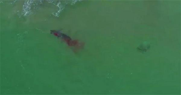 Cá mập trắng khổng lồ ăn tươi nuốt sống hải cẩu trong trận chiến đẫm máu