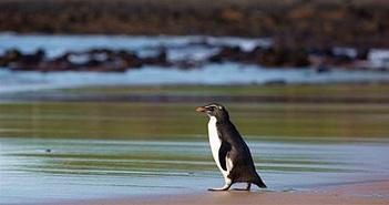 Chim cánh cụt bơi 2.500km đến Australia được thả về tự nhiên