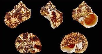 Những loài ốc biển chứa độc tố gây chết người