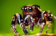 """Loài nhện có thể """"nghe"""" thấy tiếng con người"""