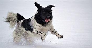 7 giống chó quý hiếm nhưng ít người biết đến