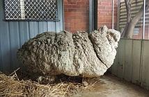 Chú cừu nổi tiếng nặng nhất thế giới chết gây tiếc thương