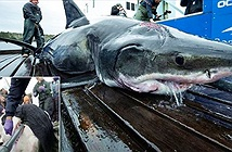 Yêu quá mãnh liệt, cá mập trắng lớn bị cắn rách đầu