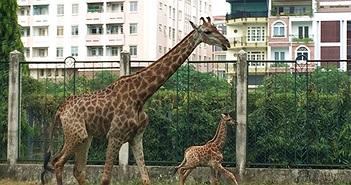 Lần đầu hươu cao cổ sinh con thành công tại Thảo cầm viên SG