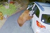 Gấu mở cửa ô tô, trèo vào trong làm hành động bất ngờ
