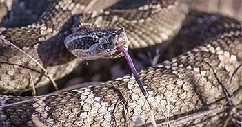 """Giải mật """"sốc"""" về loài rắn: Từng có chân"""