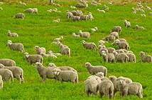 Cải thiện sóng Wi-Fi bằng….cừu
