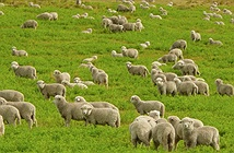 Cải thiện sóng wi-fi bằng cừu