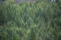 Vì sao cây thông có hình chóp?