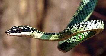 7 loài rắn nhìn sợ... nhưng vô hại với người