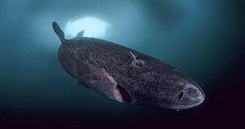Loài cá mập kỳ dị nhất thế giới