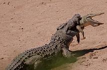 Cá sấu khổng lồ ngoạm đồng loại trong miệng và kéo xuống hồ