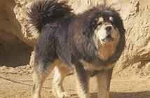 Chó ngao Tây Tạng  trở thành mối nguy hiểm ở Trung Quốc