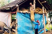 Biện pháp phòng chống rét cho trâu bò
