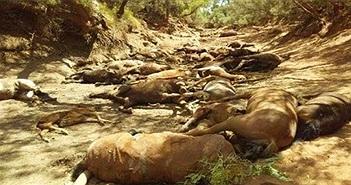 Nắng nóng kỷ lục ở Australia, hàng chục con ngựa chết khát