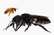 Loài ong to bằng ngón tay cái lộ diện gây bất ngờ