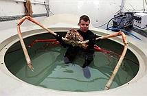 Cua khủng khiến cá mập sợ rét run, bị đồn ăn thịt người