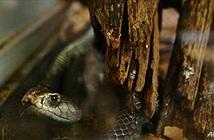 Hãi hùng mảnh đất của những vụ rắn độc rình rập trong đêm