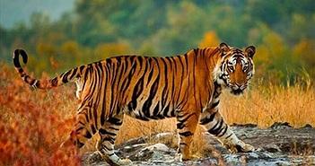 Tại sao hổ dễ dàng phát hiện con mồi ngay cả trong bóng tối?