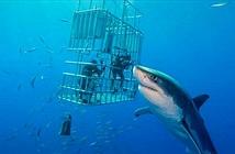 Cá mập trắng lớn nhất thế giới dài hơn 6m