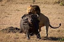 Xót xa trâu rừng mang thai trơ trọi đối đầu bầy sư tử