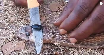 Giải mã 'viên ngọc' trên đầu hổ mang được cho là có công năng chữa trị thần kỳ
