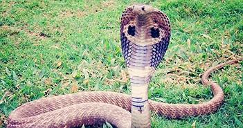 Chuyện lạ hôm nay: Để rắn hổ mang cắn để... cai nghiện