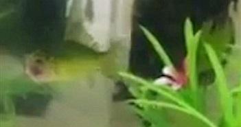 Cá vàng không đầu vẫn bơi lội tung tăng suốt 3 ngày
