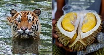 Loài hổ hiếm ở Malaysia sẽ chết thảm vì... sầu riêng