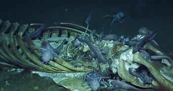 """Cá voi """"khủng"""" chết mục xác, bạch tuộc và cua tranh nhau mở tiệc"""