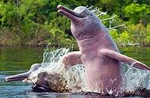 Cá heo sông Amazon nhiễm độc thủy ngân