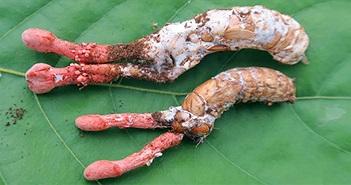"""""""Soi"""" nấm độc, rất giống nấm đông trùng hạ thảo ve sầu ở Việt Nam"""
