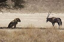Lạ lùng linh dương sừng kiếm bình thản đón cái chết trước mặt sư tử