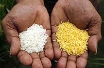 Bangladesh sắp trở thành quốc gia đầu tiên cho phép trồng gạo vàng biến đổi gene