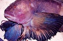Phát hiện loài cá sống sâu nhất thế giới