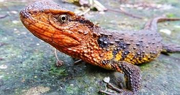Ảnh thằn lằn cá sấu Việt Nam lên báo nước ngoài