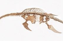 Bộ xương sinh vật biển giống quái vật hồ Loch Ness ở Nam Cực