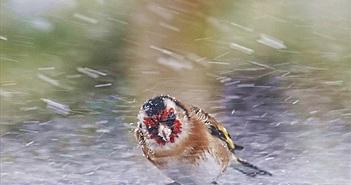 Chim nhỏ nghị lực gồng mình chống bão tuyết