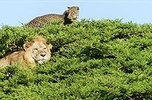 Báo đốm trèo lên ngọn cây để trốn sư tử