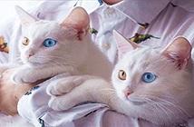 Cặp mèo song sinh sở hữu 2 màu mắt đẹp nhất thế giới