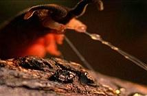 Loài sâu mù săn mồi thiện nghệ bằng... nước dãi