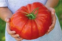 Giống cà chua lớn nhất thế giới