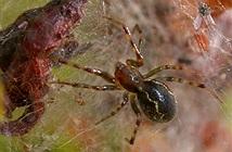 Có một loài nhện khiến muôn loài phải ngưỡng mộ trong rừng Amazon