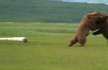 Gấu nâu khổng lồ kịch chiến để giành quyền giao phối
