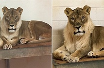 Vườn thú lo khi sư tử cái ngày càng trở nên nam tính