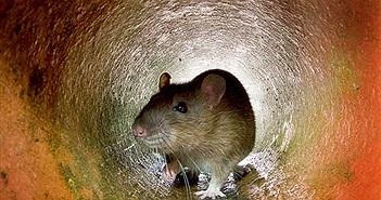 Hành khách đi tàu điện ngầm phải nhập viện vì bị chuột cắn